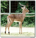 antelope-10666-sm.JPG