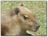 capybara-10745-sm.JPG