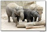 elephants-10781-sm.JPG