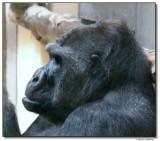 gorilla-10816-sm.JPG