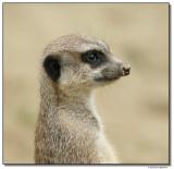 meerkat-10710.JPG-sm.jpg