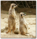 meerkat-10714-sm.JPG