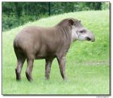 tapir-10747-sm.JPG