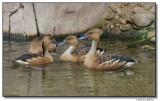 ducks-10689-sm.JPG