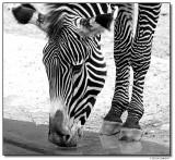 zebra-10763-sm.JPG