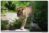 tiger-1396.JPG