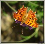 butterfly-2327-sm.JPG
