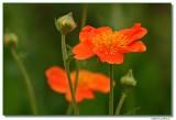poppy-2546-sm.JPG