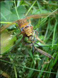 Dragon fly eating dragon fly...