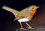 Bird, England