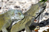 Iguana Love