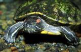 Turtle Walking Underwater