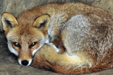 Kitsune, the Fox