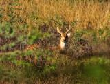 Young Deer Looking