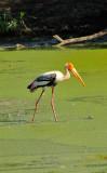 Stork Fishing in Stagnant Waters