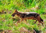 Asian Coyote