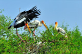 Indian Stork Jump to Meet the Family...