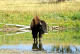 Young Bison Drinking