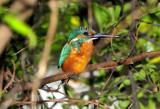 Kingfisher My Friend...