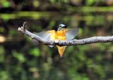 Kingfisher Landing...