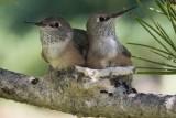 Baby Hummingbirds Feeding