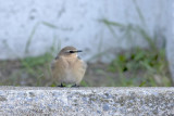 Traquet Motteux / Northern Wheatear