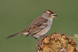 Bruant �ECouronne Blanche ( juv ) / White-Crowned Sparrow ( juv )