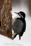 Pic �Edos noir / Black-backed Woodpecker