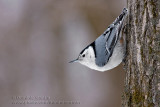 Sittelle �Epoitrine blanche / White-breasted Nuthatch