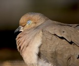 Tourterelle Triste / Mourning Dove