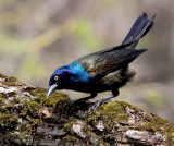 Quiscale Bonz�E/ Common Grackle