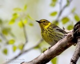 Paruline Tigrée / Cape May Warbler