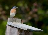 Merlebleu de l'Est ( mal ) / Eastern Bluebird ( mal )