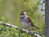 Bruant �EGorge Blanche / White-Throated Sparrow