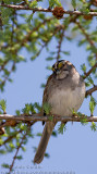 Bruant �EGorge Blanche  (fem)/ White-Throated Sparrow (fem)