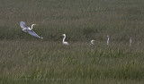 Grandes Aigrettes / Great Egret