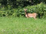 Cerf de Virginie ( juv ) / White-tailed Deer ( juv )