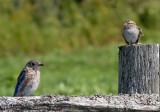 Merlebleu de l'Est  + Bruant Familier / Eastern Bluebird + Chipping Sparrow