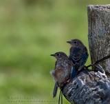 Merlebleus de l'Est / Eastern Bluebirds