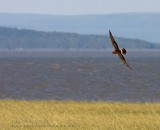 Busard Saint-Martin / Northern Harrier