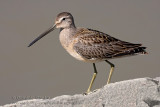 Bécassin �à Long Bec ( juv ) / Long-billed Dowitcher ( juv )