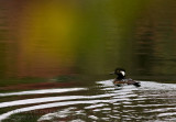 Harle Couronn�E/ Hooded Merganser