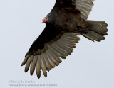 Urubu �ETête Rouge / Turkey Vulture