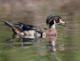 Canard Branchu / Wood Duck