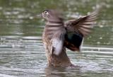 Canard Branchu ( f ) / Wood Duck ( f )