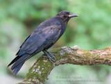 Corneille d'Amérique / American Crow