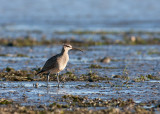 Courlis corlieu / Whimbrel