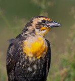 Carouge �ETête Jaune (juv) / Yellow-headed Blackbird (juv)