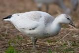 Oie De Ross / Ross's Goose
