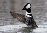 Harle couronn�E(mâle) / Hooded Merganser (male)